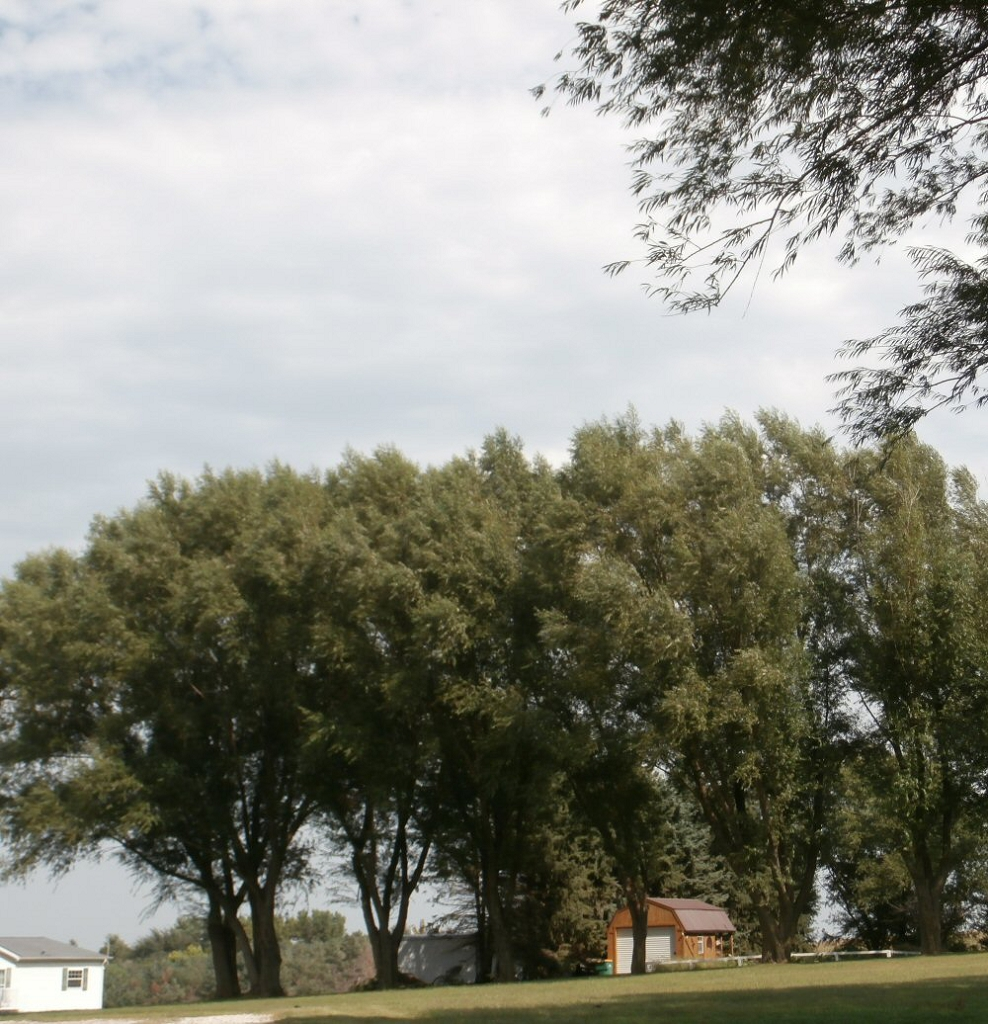 Instant Shade Trees : Privacy screens hybrid willow trees